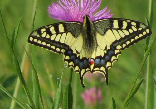 Schmetterling_(c)_Frank-Lorenz_IMG_0071